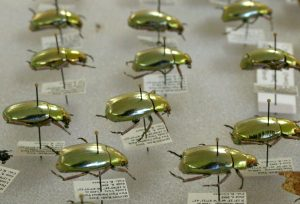 GoldBeetles2